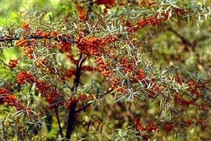 Sea Buckthorn Branch