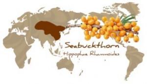 Where Sea Buckthorn originated