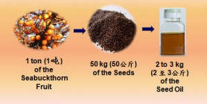 SeaBuckthorn_Seed_Oil_Extraction