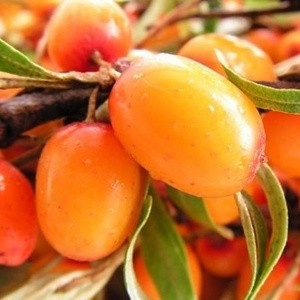 Sea Buckthorn Berry Detail