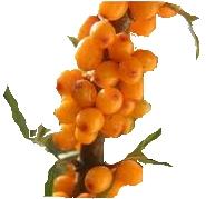 Small Branch of Sea Buckthorn Berries